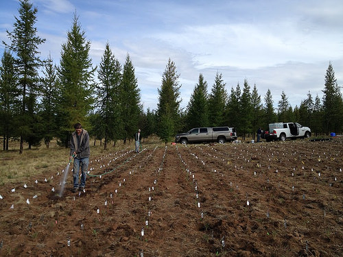 A photo of a Forest Service researchers watering plugs of bluebunch wheatgrass.