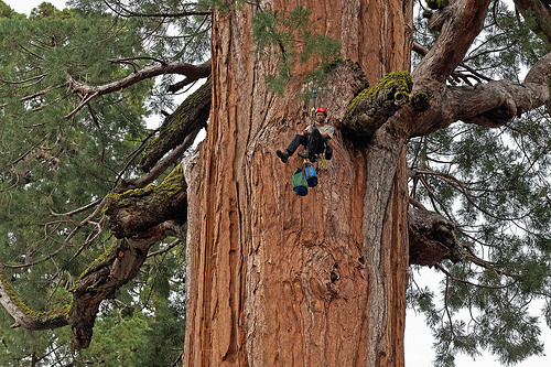 A photo of U.C. Berkeley biologist Cameron Williams ascends a giant sequoia to collect leaf samples in Giant Forest