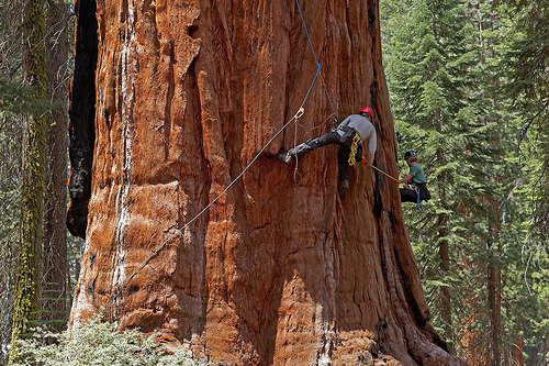 A photo of U.C. Berkeley biologists Cameron Williams and Rikke Naesborg measuring the trunk diameter of a giant sequoia.