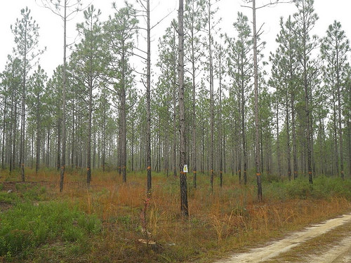 A photo of a Longleaf pine plantation on the Conecuh National Forest.