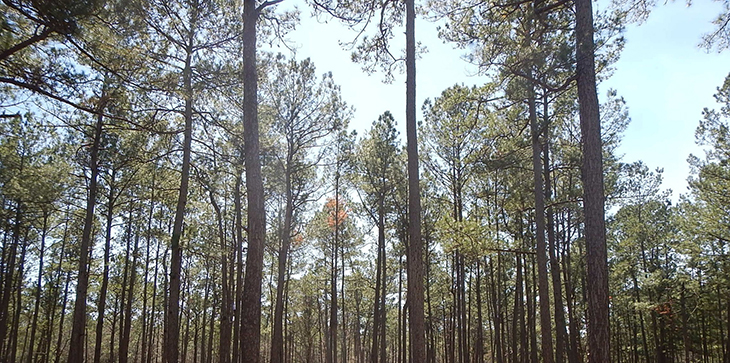 A picture of a stand of a Mature longleaf pine forest which provide shelter and food sources for red-cockaded woodpeckers.