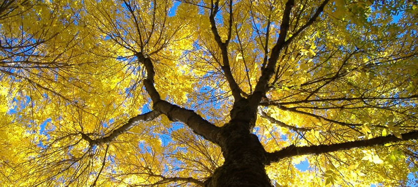Looking up the trunk of a large tree, yellow leaves with the arrival of Fall.