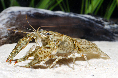 A photo of a crayfish, like this Orconectes chickasawae are freshwater crustaceans, and live in rivers and streams.