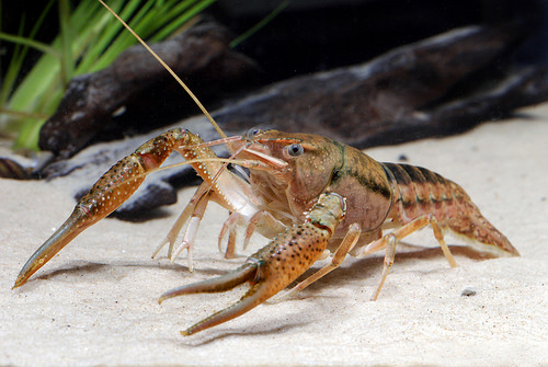 A photo of a crayfish.
