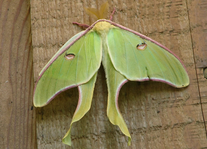 The luna month (Actiasl luna) have pale green wings with long curving tails and a wing span of roughly 3 to 4 inches.