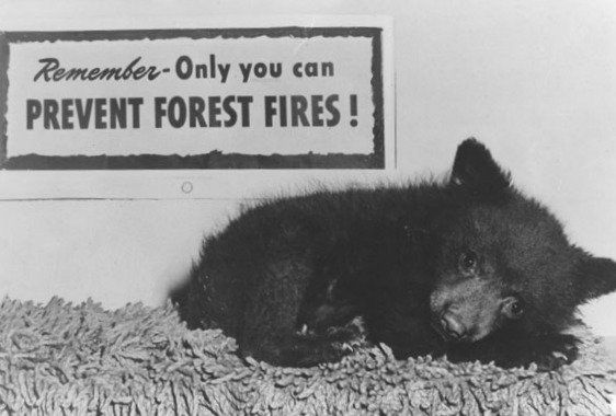 A photo of the cub, alone and burned from 1950 fire on the Capitan Mountains in New Mexico.