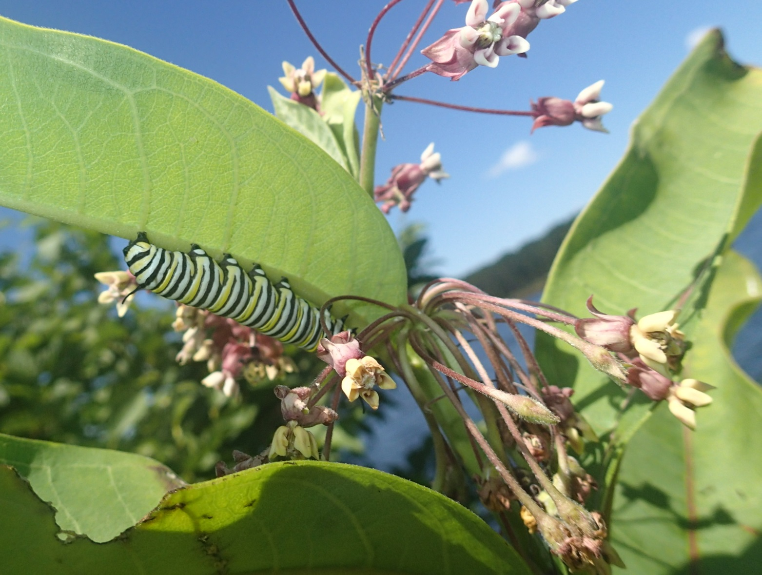 A monarch caterpillar feasting on the common milkweed plant.