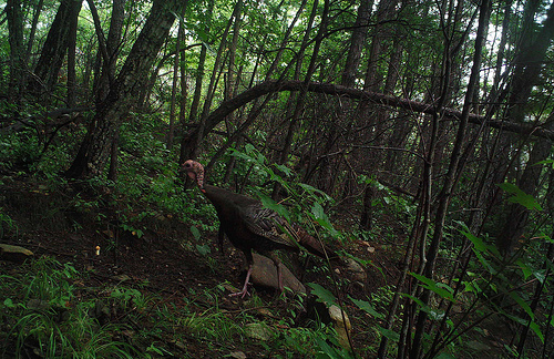 Wild turkeys often nest in recently burned areas, taking full advantage of newly established sources of food and cover.