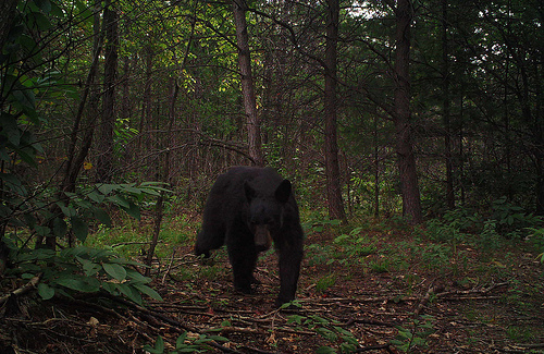Wildlife cameras capture a young black bear enjoying new growth from a prescribed burn on the Pisgah National Forest.