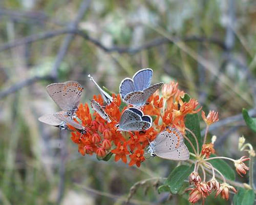 Cluster of Karner Blue Butterfly on Butterfly Weed on the Huron-Manistee National Forest. Photo credit: U.S. Forest Service