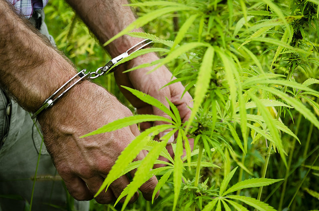 A closeup picture of a pair of hands, in handcuffs, next to a marijuana plant.