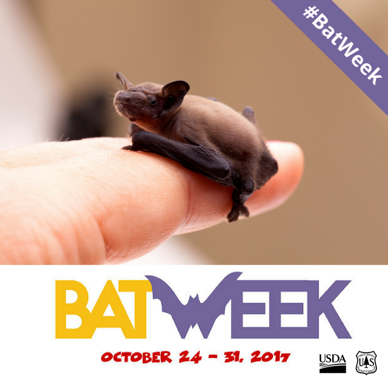 A photo of a very small bat resting on the tip of a finger.  Bat week is October 24th through 31st, 2017.