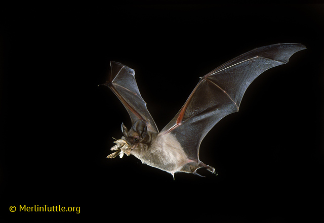 A picture of a bat flying through the air with a corn earworm in it's mouth
