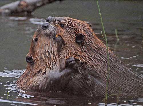 A photo of two Beavers on Steep Creek
