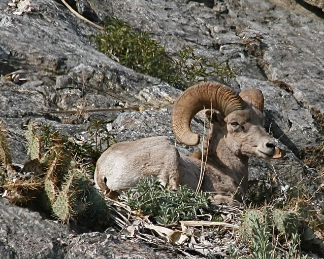 A photo of a big horn sheep resting on a rock.