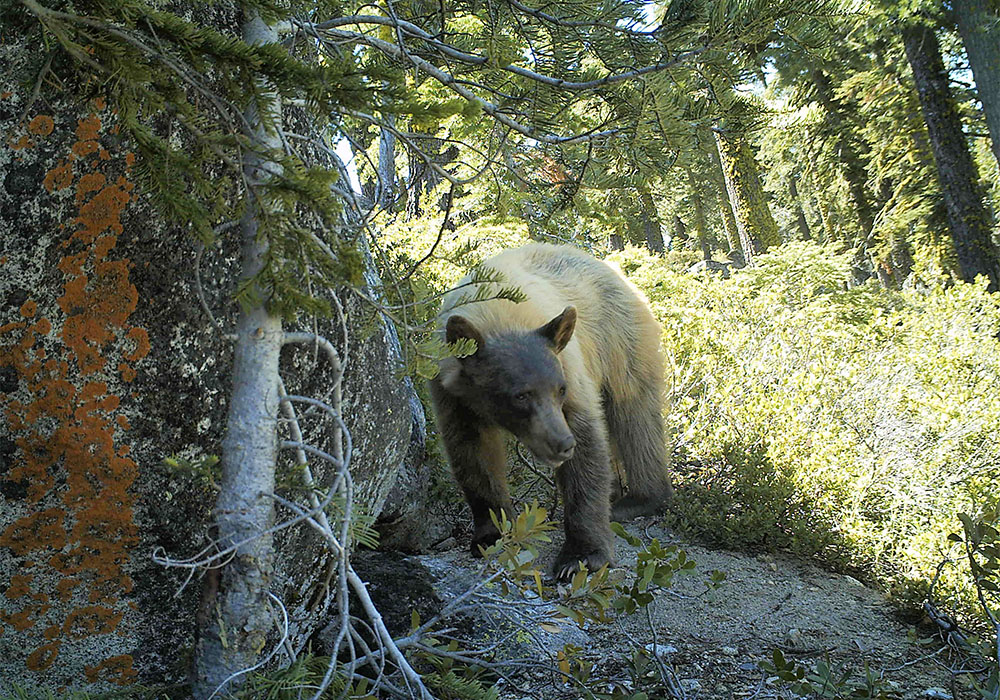 A photo of a Black bear blond variation