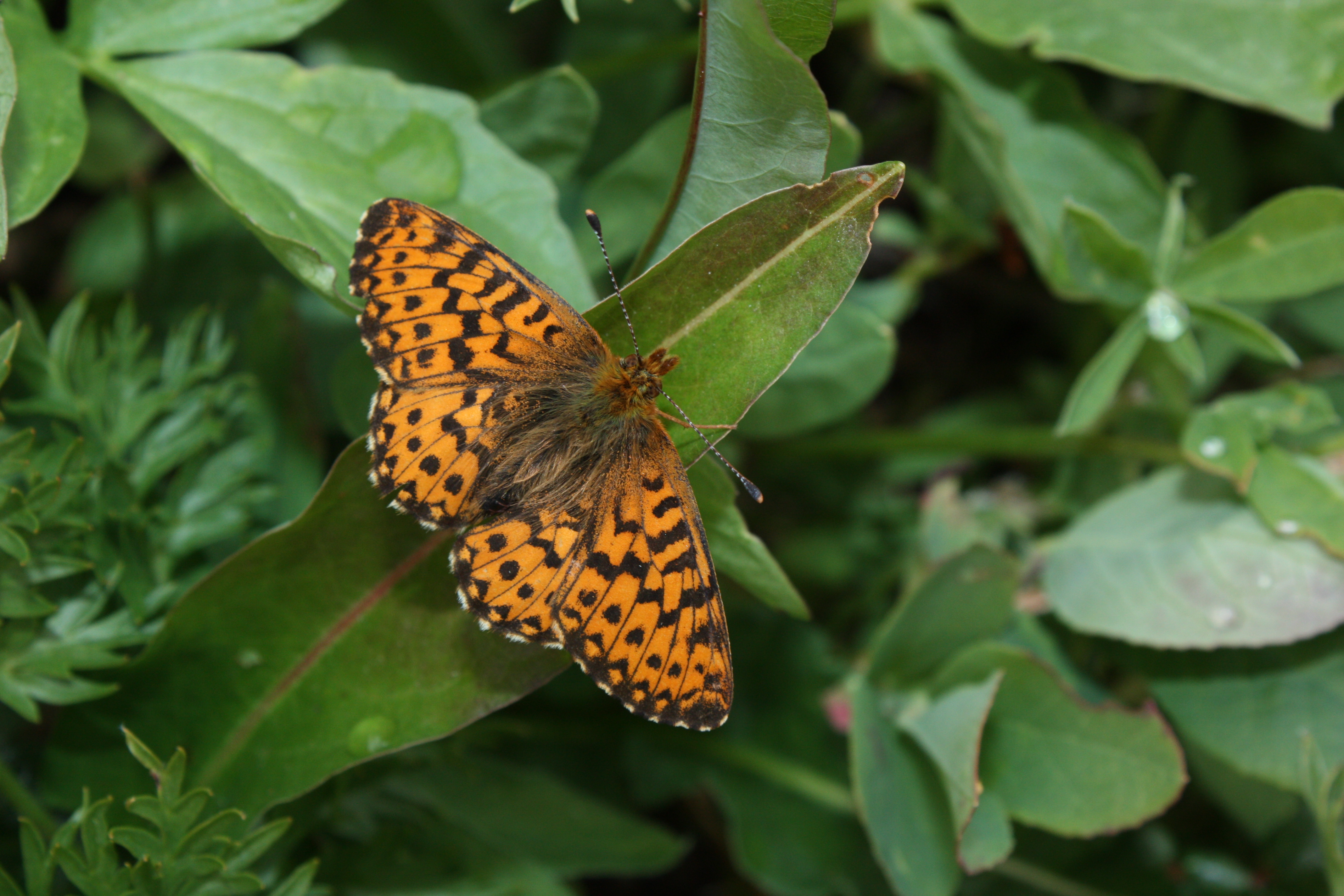 Arctic Fritillary butterfly