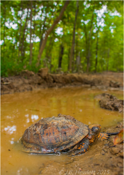 Photo: Box turtle in muddy water.