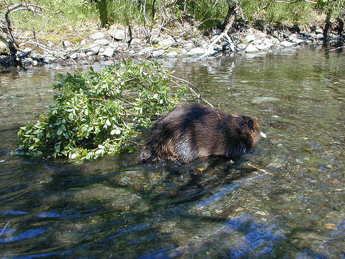 A photo of A busy beaver gathers a tree sprig to help build his lodge on Steep Creek on Alaska's Tongass National Forest
