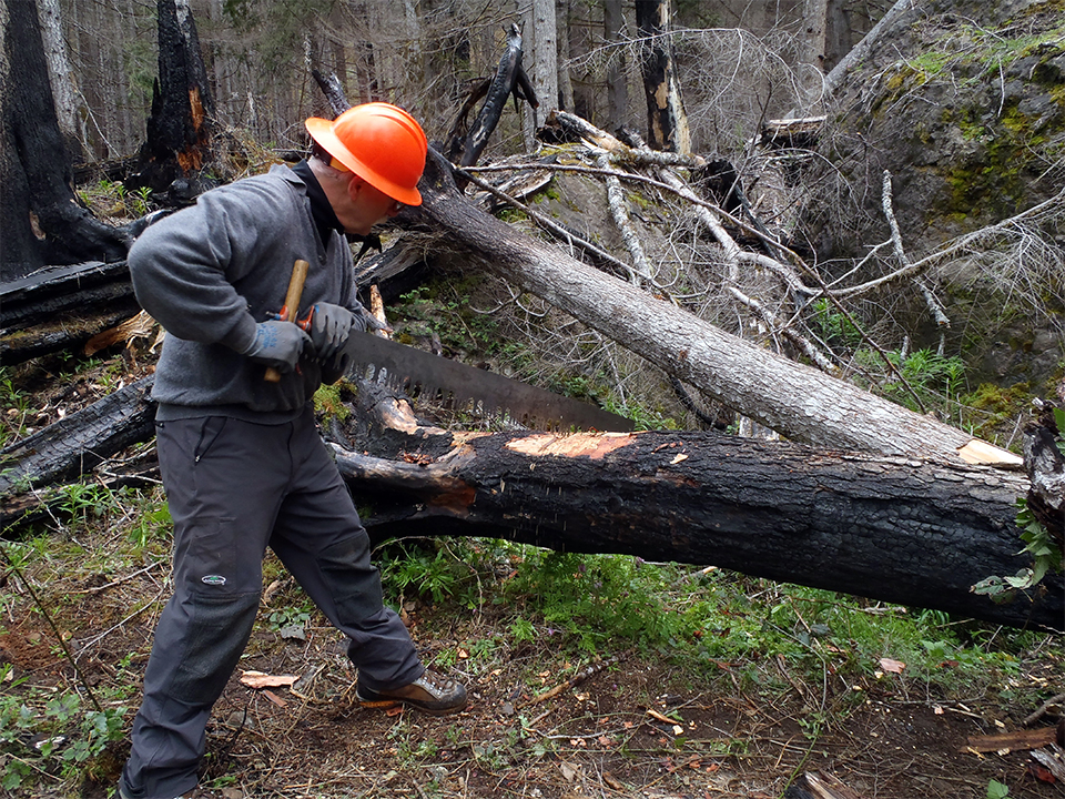 A photo of A volunteer with the Washington Trails Association uses a cross-cut saw to clear fallen timber from a trail on the Olympic National Forest in Washington State.
