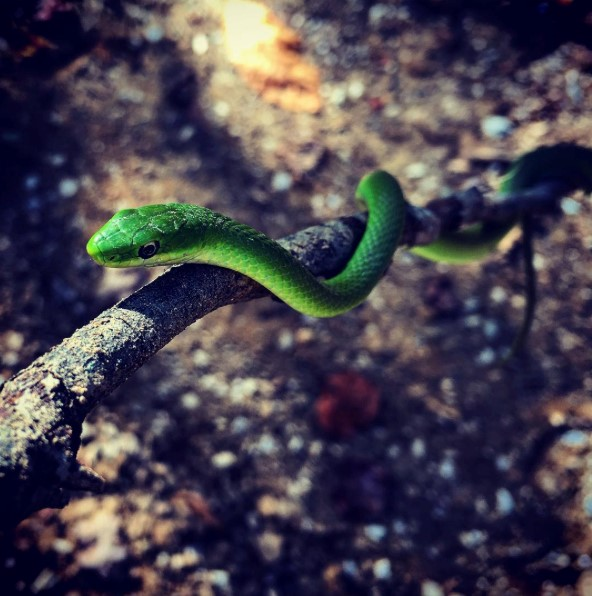 A photo of a green snake entwined on a stick