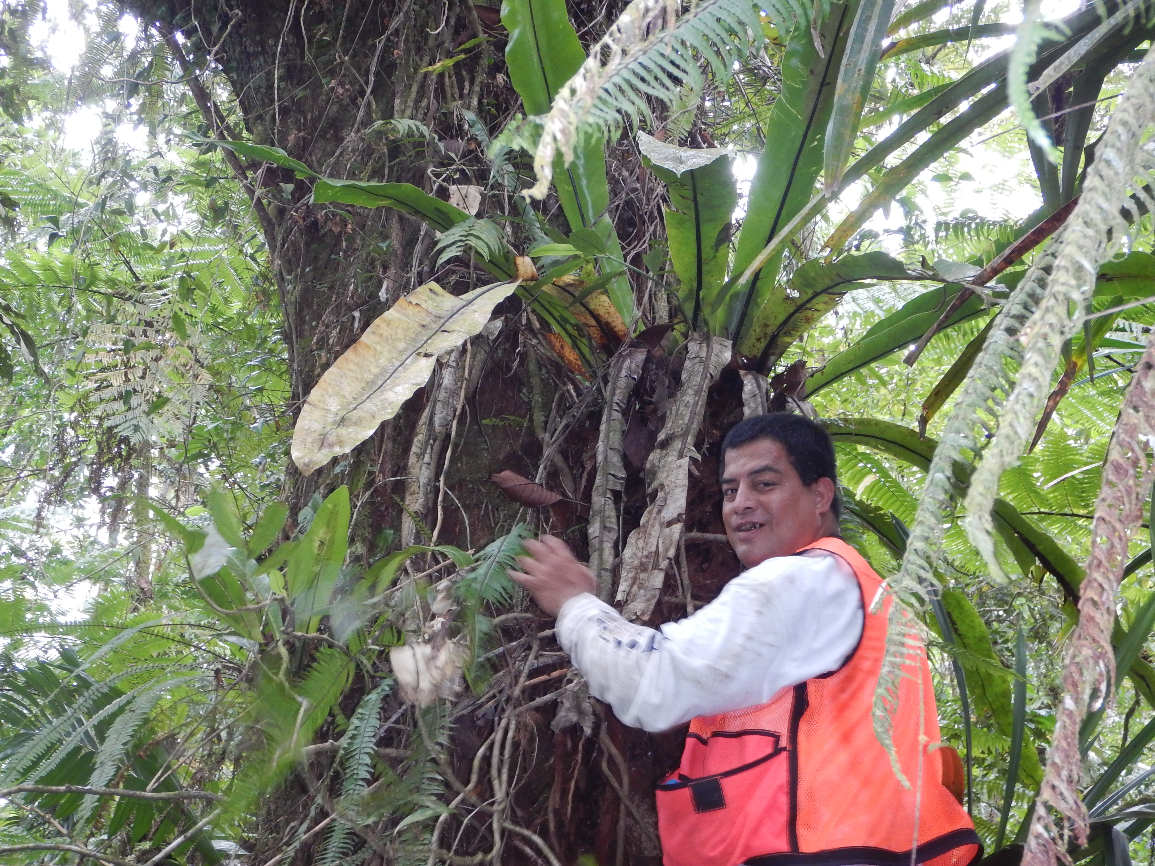 Eugene Eperiam assesses the bole of a leafy tree covered in epiphytes to identify the best place to measure the diameter.