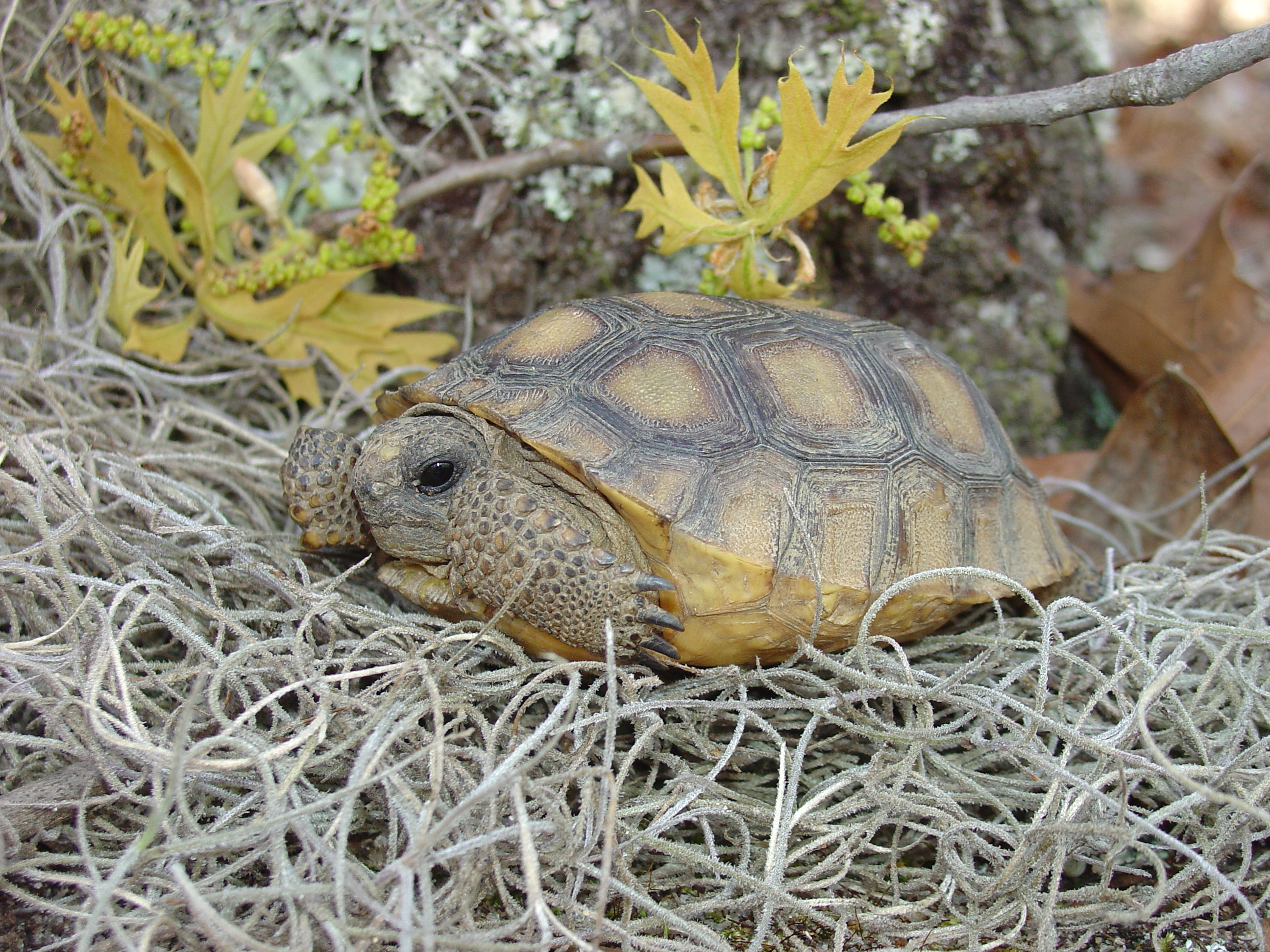 A photo of a gopher tortoise resting on a nest.