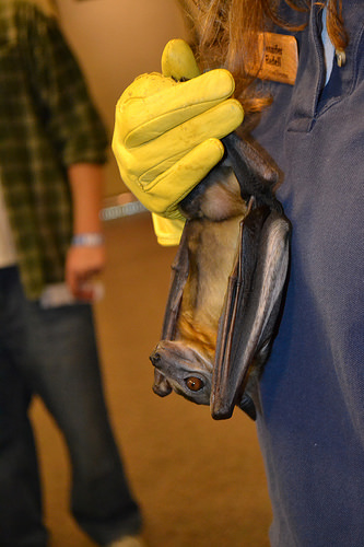 A photo of a  straw-coloured fruit bat is held by Jennifer Redell
