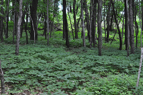 A photo of Ginseng growing beneath the forest canopy