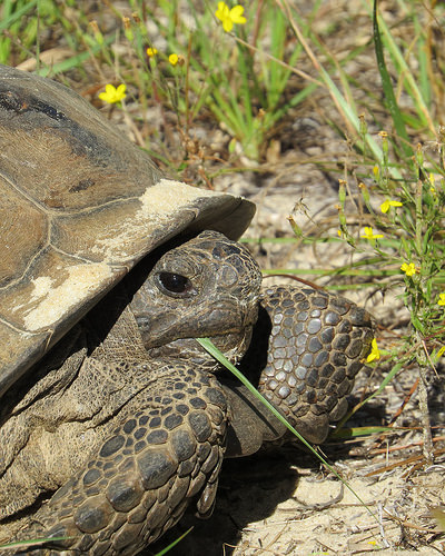 A photo of a Gopher Tortoise