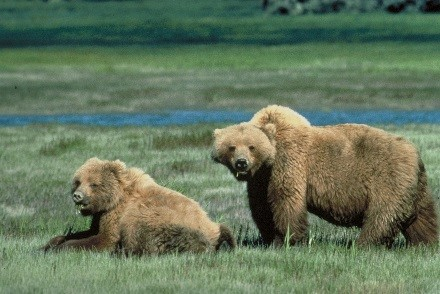 A photo of two grizzly bears
