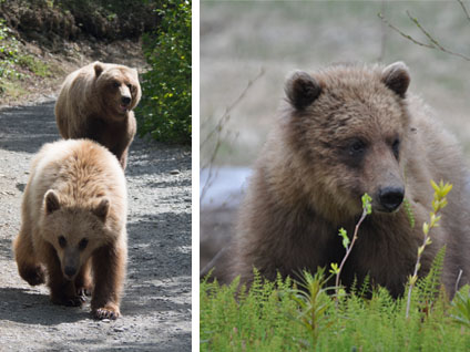 two photos of grizzly bears