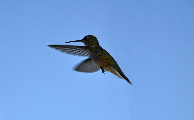 Photo: hummingbird in flight against a blue sky.