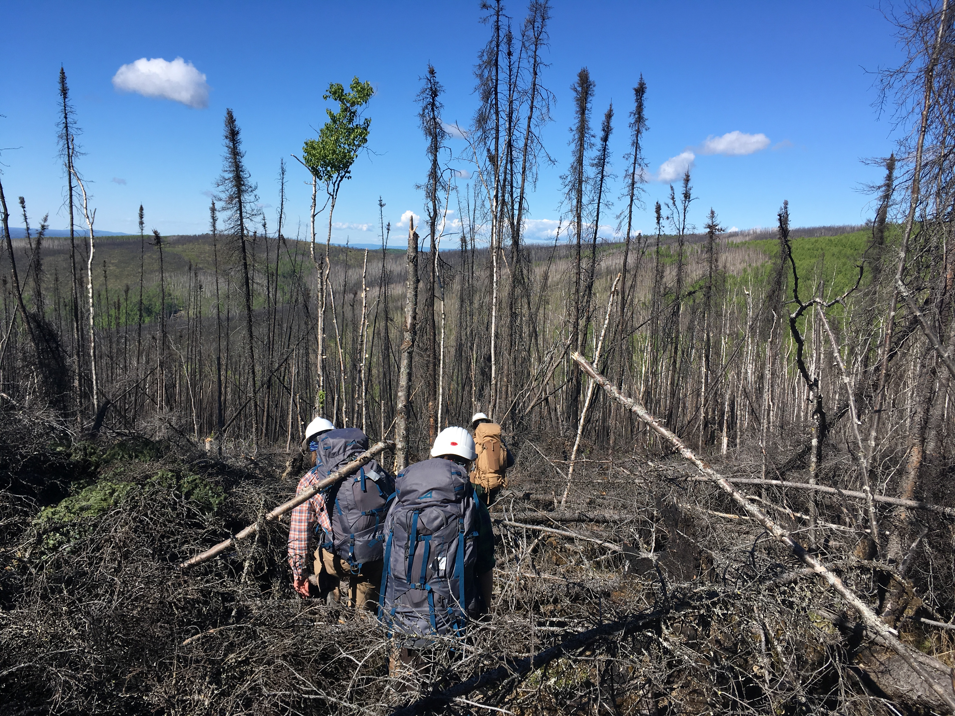 Photo: Interior Alaska FIA crew members hike through large previously burned spruce forest