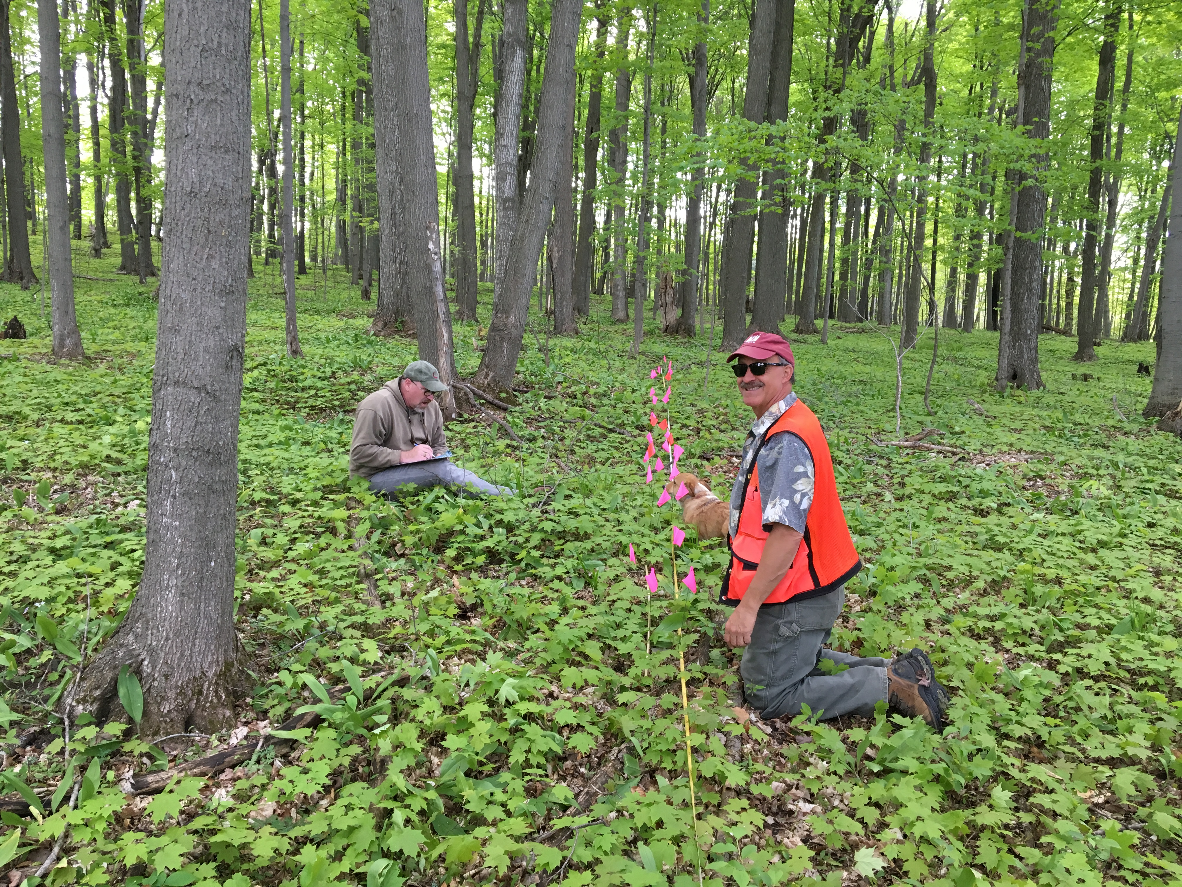Jim Chamberlain reviews placement of study plots where ramps have been harvested for commercial purposes in northwest Lower Michigan