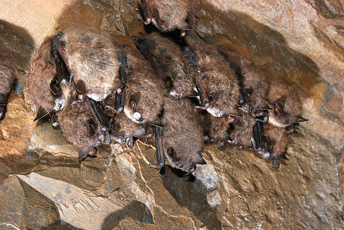 A group of bats grouped together on a rock ledge
