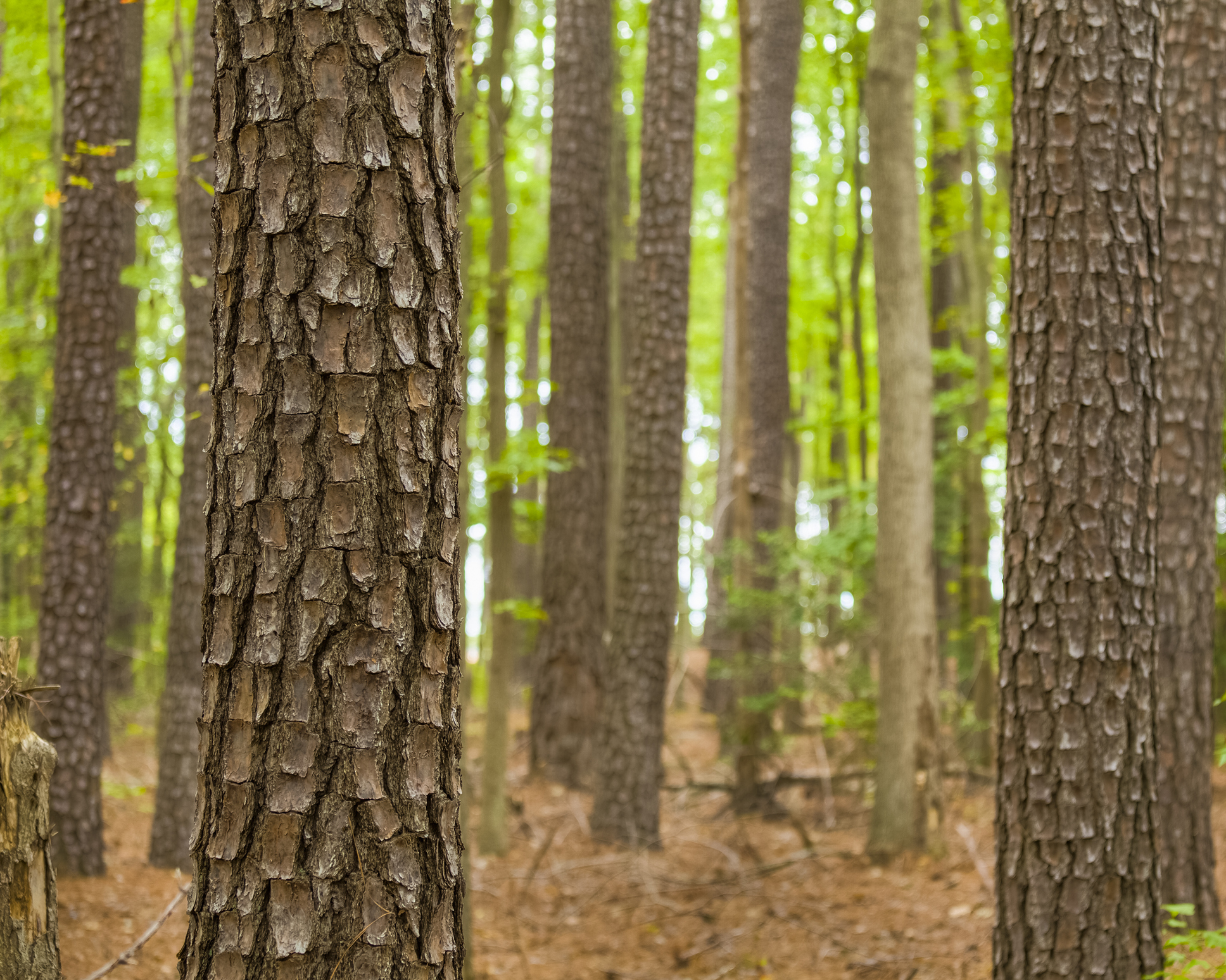 A closeup picture of a stand of Loblolly pine trees.