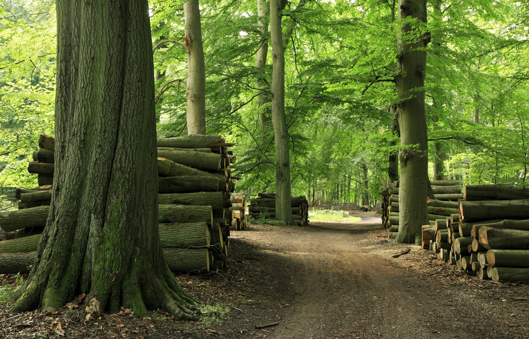 A picture of a road through a forest with logs stacked up on both sides of the road.