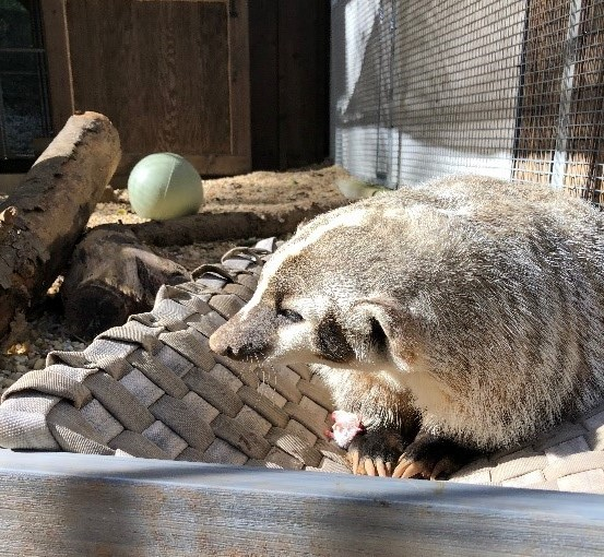 Makoda the American badger poses with her new bed that a zookeeper made out of fire hose and wood scraps.
