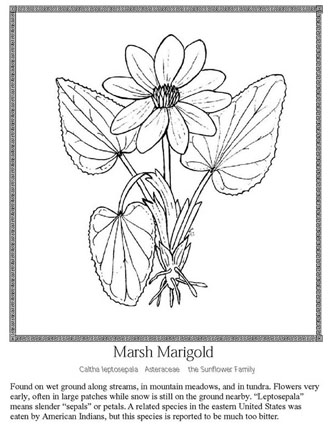 An illustrated coloring page of a Marsh Marigold