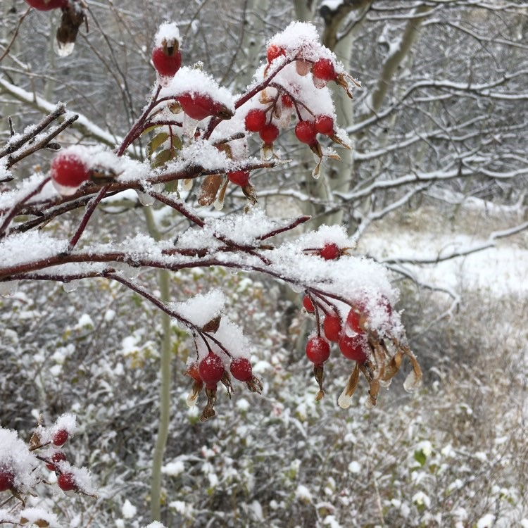A photo of Rose hips covered in a fall snowstorm