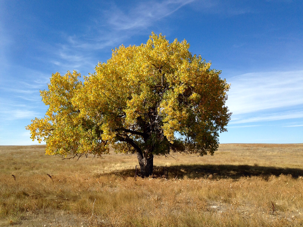 A photo of bright yellow leaves punctuates the stark autumn landscape at the Pawnee National Grassland in Ault, Colorado