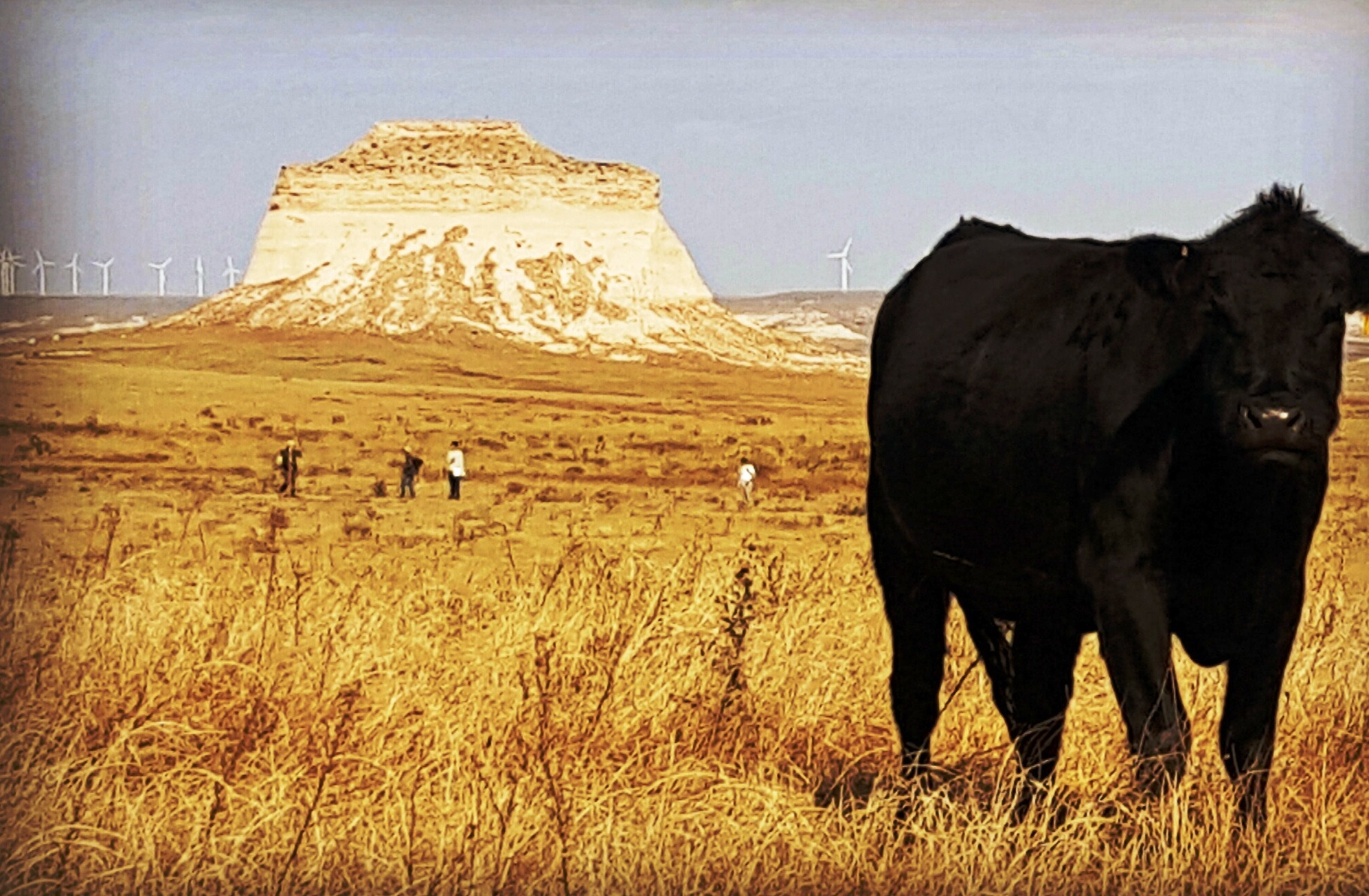 An image of the Pawnee National Grasslands; a large black cow is in the forefront wiht a majectic butte in the background.