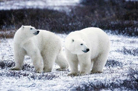 A photo of two polar bears