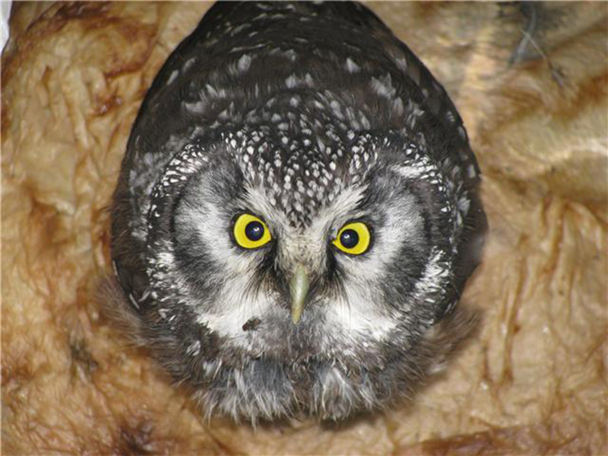 An owl is trapped in a vault toilet (portable toilet) ventilation pipe