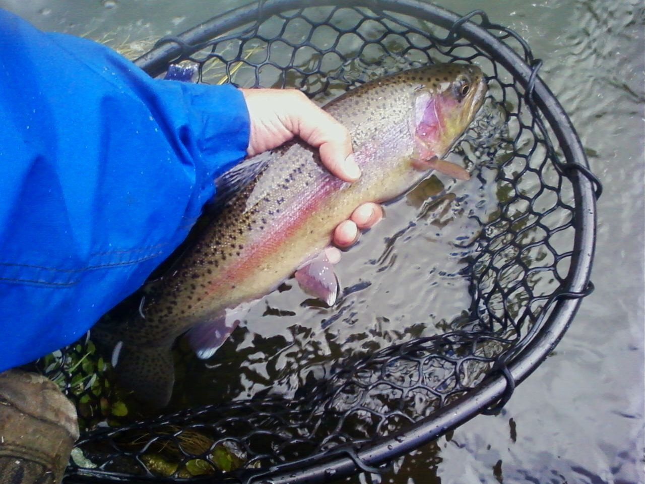 A picture of a person holding a rainbow trout pulled from a fishing net.