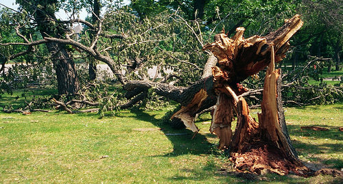 A photo of Tree failure due to root disease on a golf course.