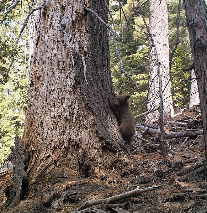 A photo of a bear cub right next to a tree trunk