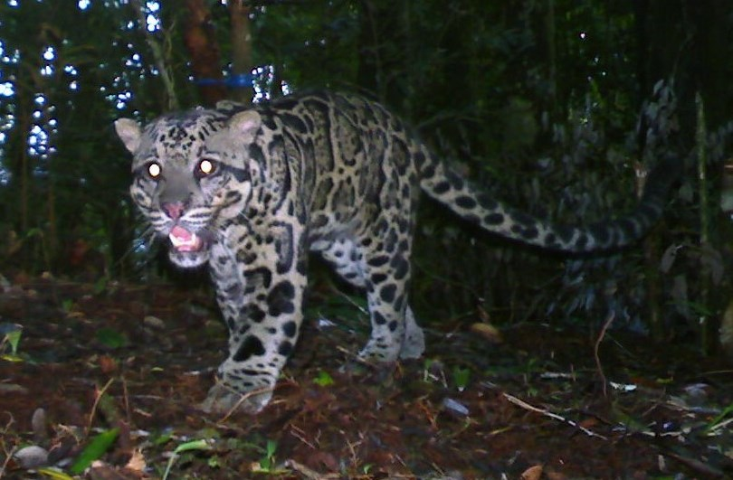Photo: Sunda clouded leopard in dark forest. Leopard snarls at the camera.