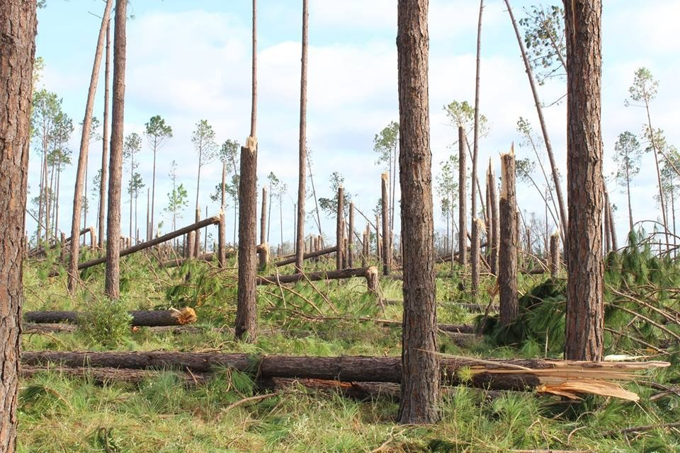 Timber damage in Florida forests
